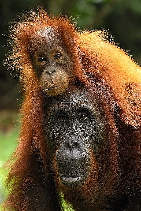 Orangutan female and baby